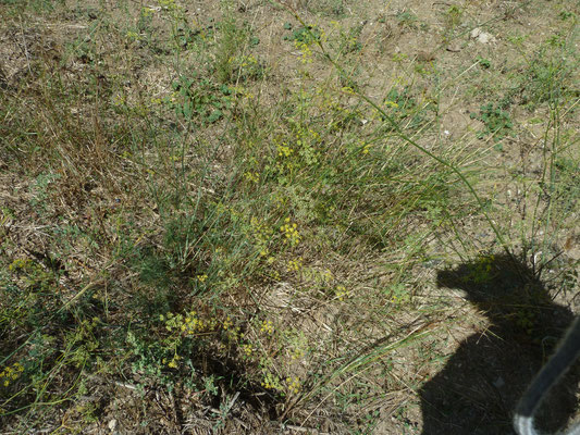 Foeniculum vulgare - Venkel