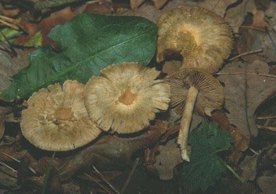 Inocybe corydalina - Groenige of Schubbige perenvezelkop