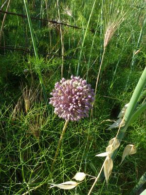 Allium ampeloprasum - Wilde look
