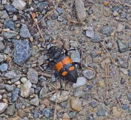 Nicrophorus vespilloides - Gewone doodgraver