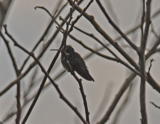 Hummingbird spec