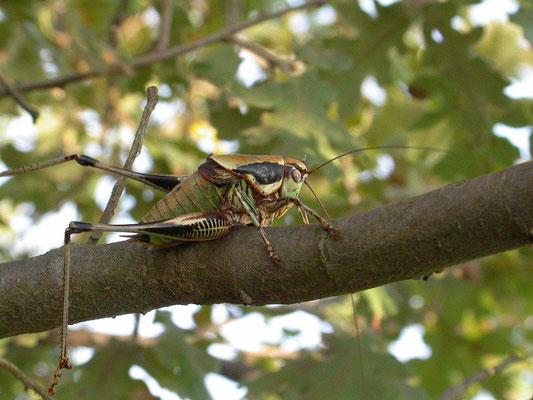 Eupholidoptera chabrieri