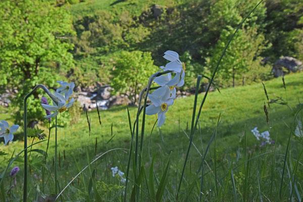 Fazantoognarcis (Narcissus poeticus)