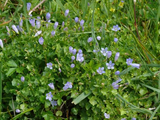 Wahlenbergia hederacea - Klimopklokje