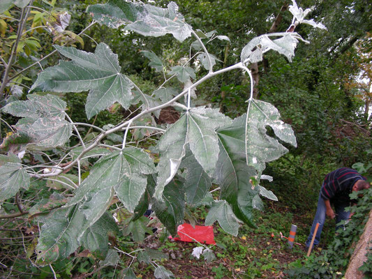Populus alba - Witte abeel