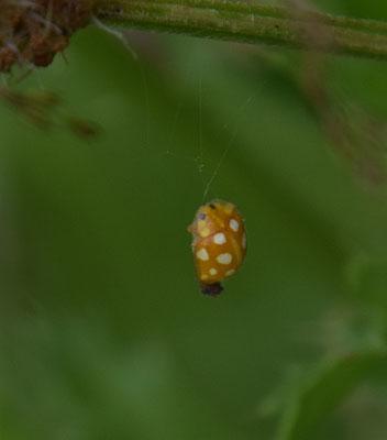 Halyzia sedecimguttata - Meeldauwlieveheersbeestje