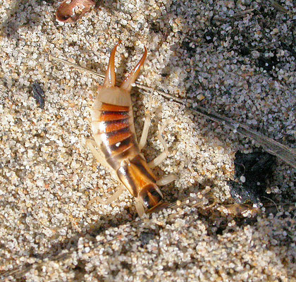 Labidura riparia - Grote Oorworm