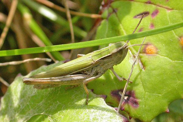 Chorthippus albomarginatus - Kustsprinkhaan