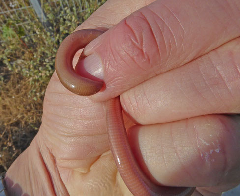 Typhlops vermicularis