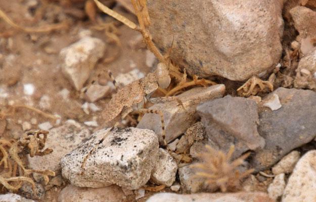woestijnbidsprinkhaan