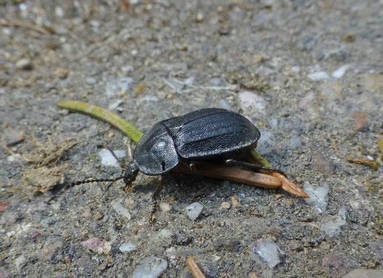 Phosphuga atrata - Slakkenaaseter