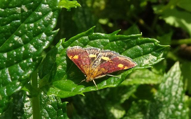 Pyrausta aurata - Muntvlindertje