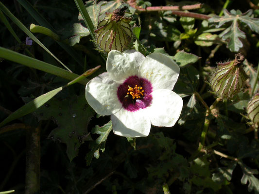 Hibiscus trionum - Drie-urenbloem