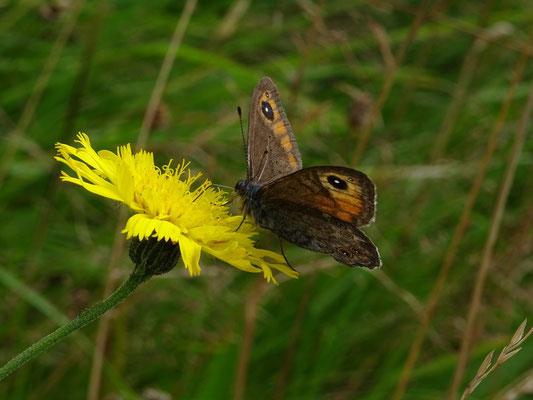 Kleine rotsvlinder