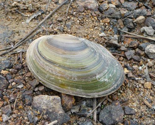 zwanenmossel (Anadonta cygnea)