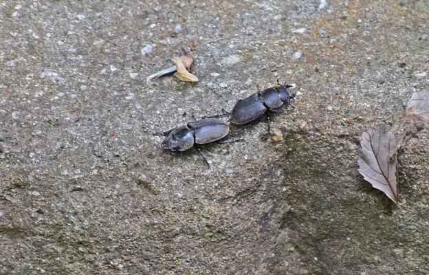 Klein vliegend hert (Dorcus parallelipipedus)