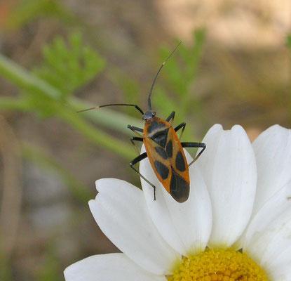 Calocoris hispanicus