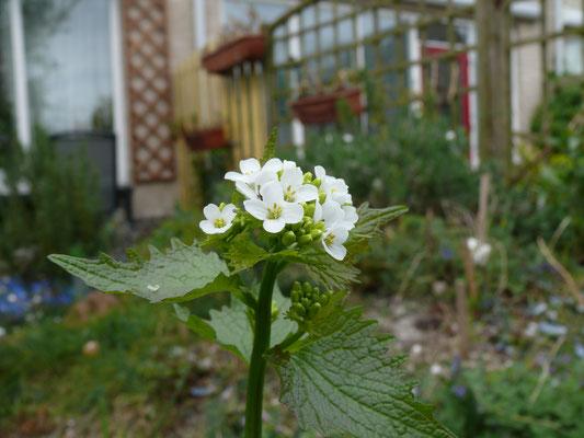 Alliaria petiolata - Look-zonder-look