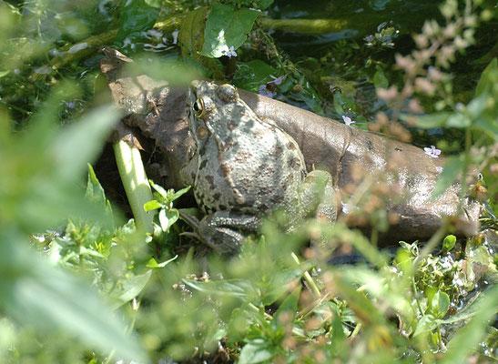 Pelophylax bedriagae - Oostelijke meerkikker