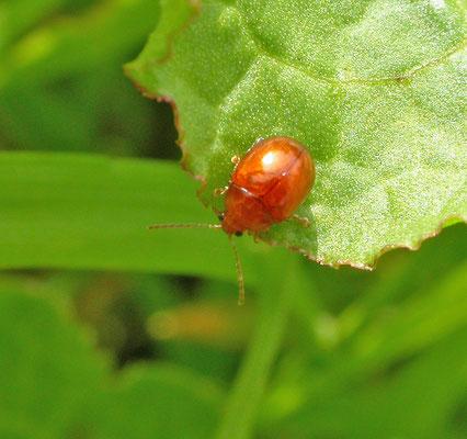 Sphaeroderma rubidum - Rode distelaardvlo