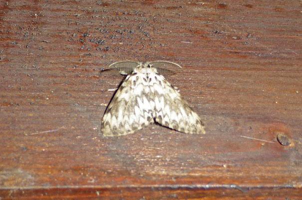 Lymantria monacha - Nonvlinder