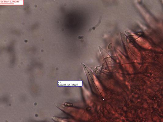 Macrocystidia cucumis - Levertraanzwam