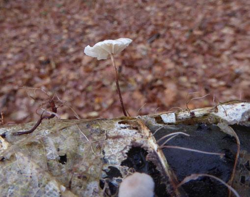 Marasmius epiphyllis - Witte taailing
