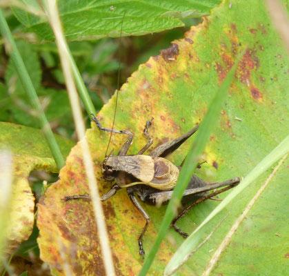 Pholidoptera aptera