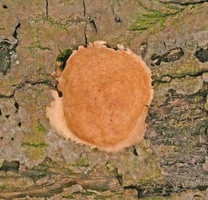 Phellinus ferreus - Langsporige korstvuurzwam