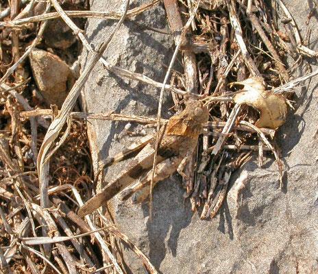 Oedipoda germanica - Roodvleugelsprinkhaan