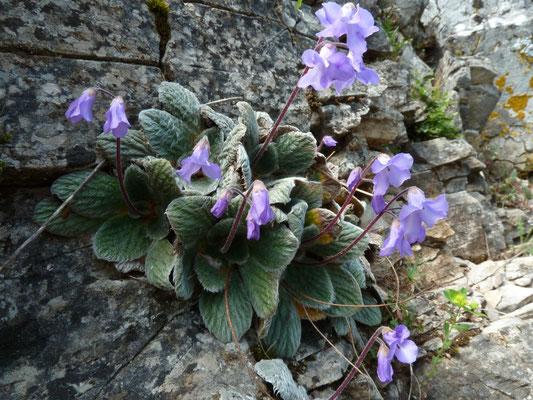 Janckaea heidreichii, endeem op Mount Olympos