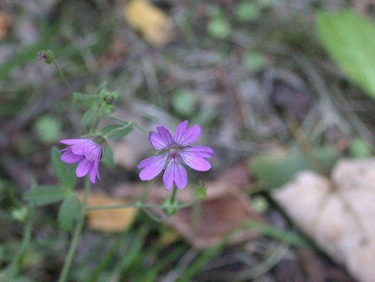 Geranium pyrenaicum - Bermooievaarsbek
