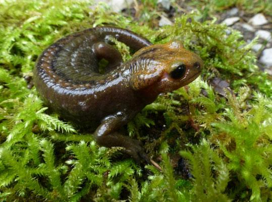 Salamandra salamandra alfredschmidti