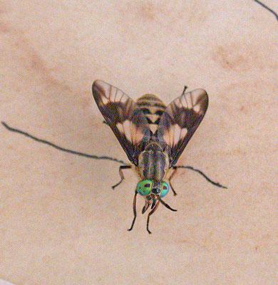 Chrysops relictus - Gewone goudoogdaas