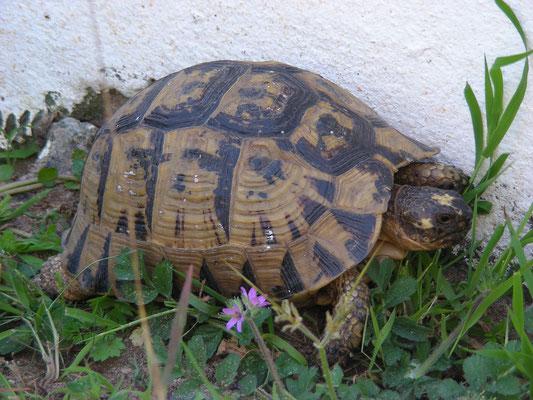 Testudo graeca graeca - Moorse landschildpad