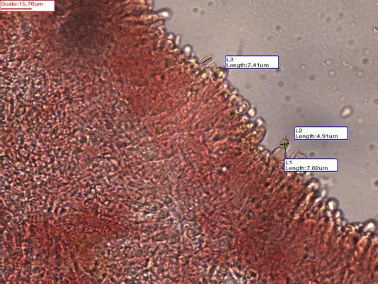 Clavaria straminea - Strogele knotszwam