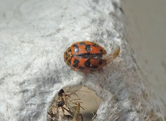 Oenopia conglobata  - Vloeivleklieveheersbeestje