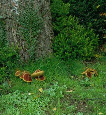 Xerocomellus rubellus - Rode boleet