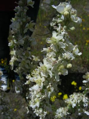Verbascum lychnitis - Melige toorts