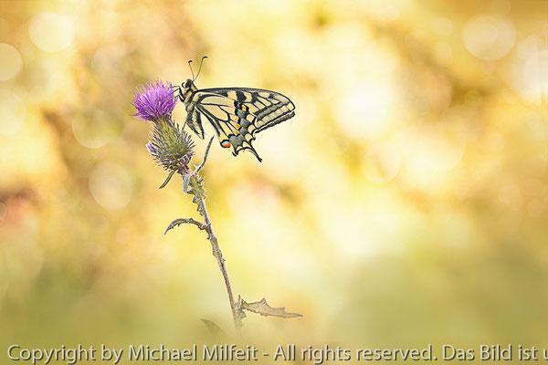 Schwalbenschwanz - Foto: Michael Milfeit