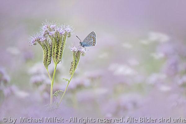 Bläuling - Foto: Michael Milfeit