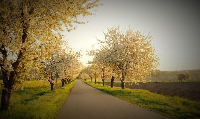 Kirschenblütenalle zwischen Dahrendorf und Harpe im Frühjahr