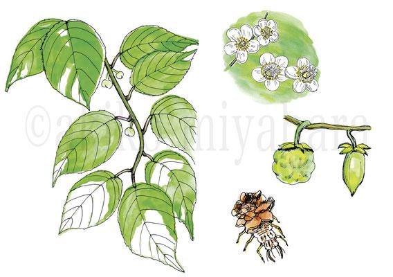 うかたま「庭にほしい木」マタタビ、カゲロウの幼虫