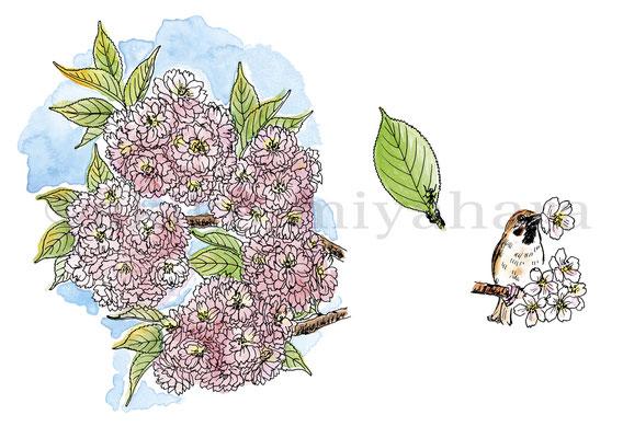 うかたま「庭にほしい木」サクラ(八重桜)、スズメ