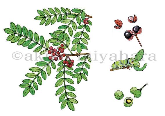 うかたま「庭にほしい木」サンショウ、ナミアゲハの幼虫
