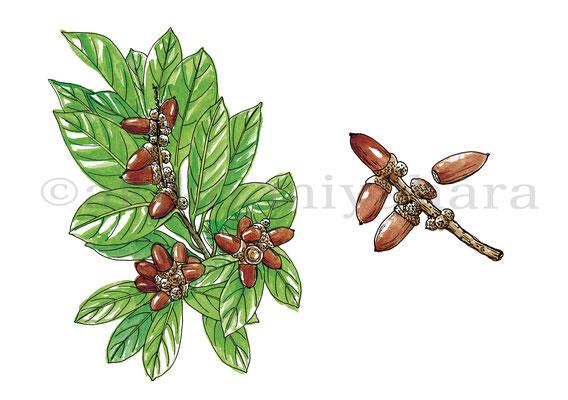 うかたま「庭にほしい木」マテバシイ