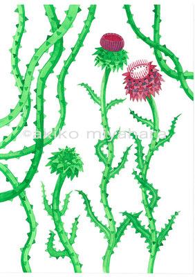 植物/アザミ1