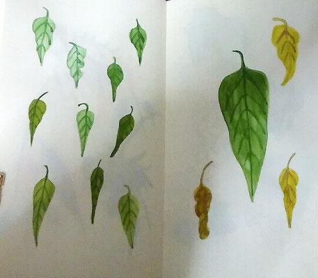 ヒマワリの葉。