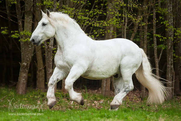 Percheron Pferd