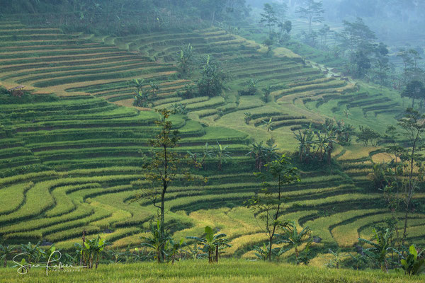 Lush ricefields of Borobodur